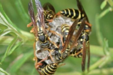 浜松市東区でアシナガバチ