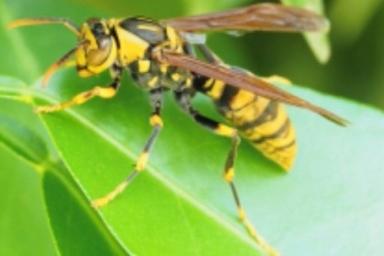 危険なキアシナガバチ