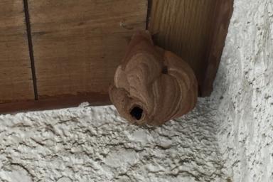 本日の現場のスズメバチの巣