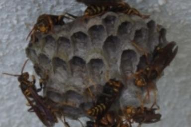 磐田市のアシナガバチの巣