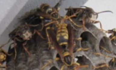 守衛バチの例