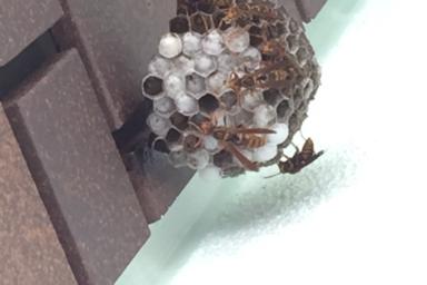 浜松市東区のアシナガバチ