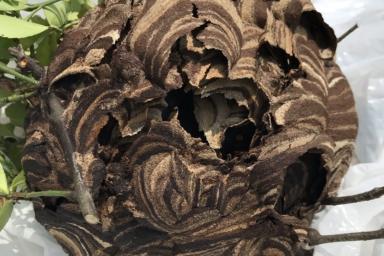 取り外したスズメバチの巣