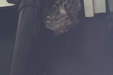浜松市南区のアシナガバチ