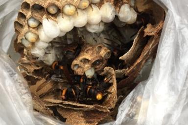 換気扇の中のスズメバチ
