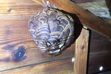 屋根裏にあるキイロスズメバチの巣