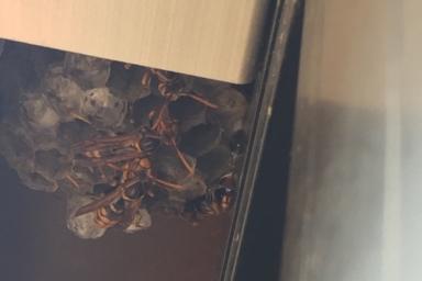 浜松市中区のアシナガバチの巣