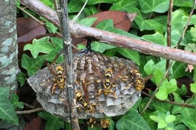 浜松市中区キアシナガバチ