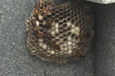 袋井市のアシナガバチ