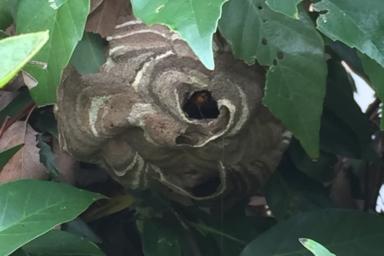 庭木の中のスズメバチ
