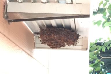 巣が全く見えないほど大量のアシナガバチ