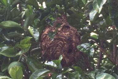 豊川市でみつけたスズメバチの巣