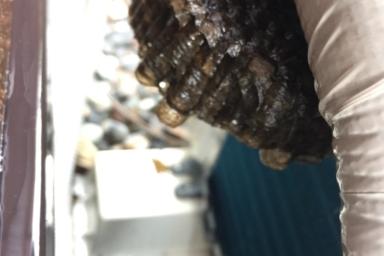ホースに取り付いたアシナガバチ