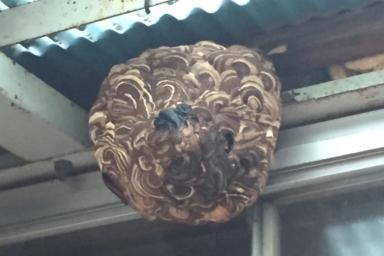 軒下のスズメバチ