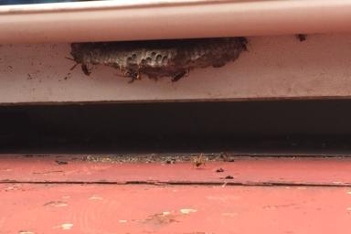 巨大なアシナガバチの巣