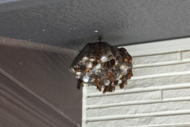 壁面のアシナガバチ