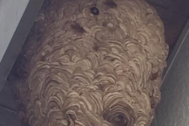 巨大なキイロスズメバチの巣