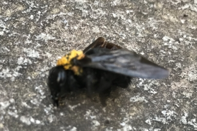 クマバチの女王バチ