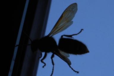 スズメバチの影