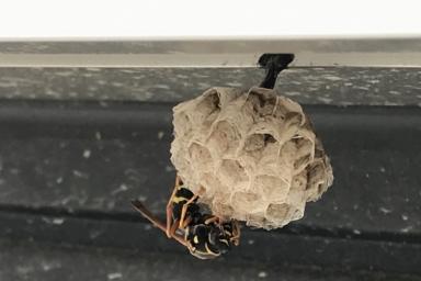 サッシの下に巣を作ったフタモンアシナガバチ