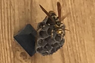 玄関のアシナガバチ