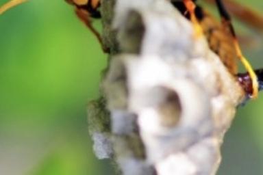 庭の木に巣を作るセグロアシナガバチ