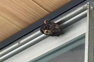 窓の冊子の上に巣を作っているスズメバチ