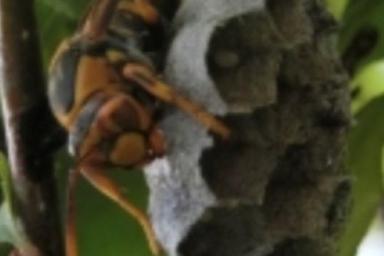 お庭の木に巣を作るアシナガバチ