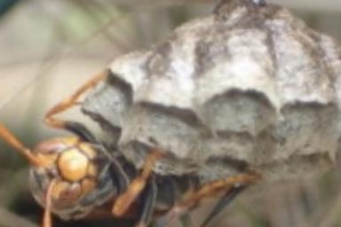 アベリアの木に巣を作ったアシナガバチ
