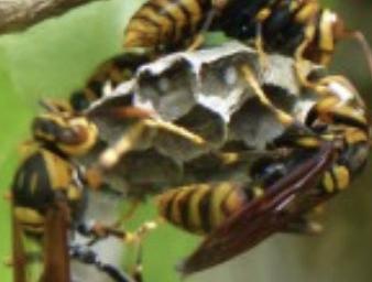 庭の木に巣を作るアシナガバチ