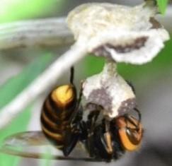 巣を作り始めたばかりのコガタスズメバチ