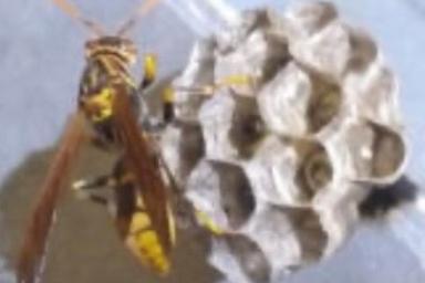 壁面に巣を作るキアシナガバチ