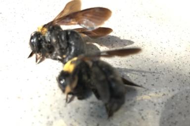 クマバチ 駆除