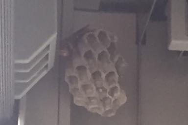 シャッターの内側に巣を作るアシナガバチ