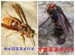 日本人を殺すハチのツートップ