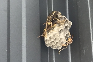 軒下に巣を作るセグロアシナガバチ