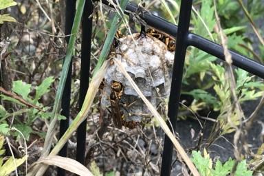 フェンスに巣をつくるアシナガバチ