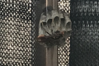 ベランダのフェンスに巣を作るハチ