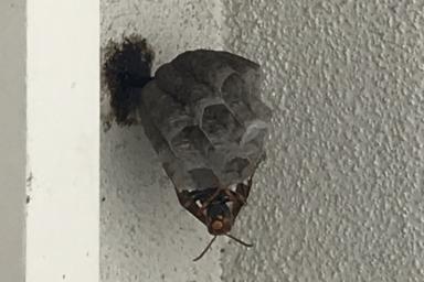ベランダの角に巣を作るアシナガバチ