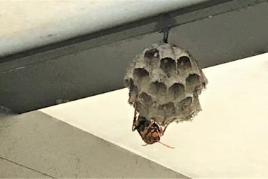 カーポートに巣をつくるアシナガバチ