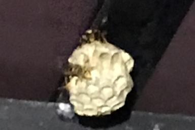 カーポートに巣を作るアシナガバチ