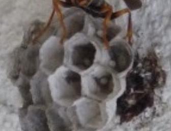 外壁に巣を作るアシナガバチ