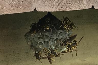 激怒中のキアシナガバチ