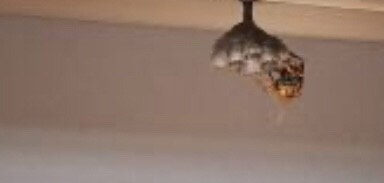 ウッドデッキの下に巣を作るアシナガバチ