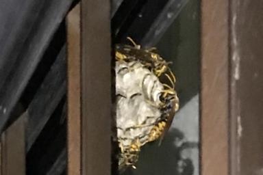格子にぶら下がって巣を作るアシナガバチ