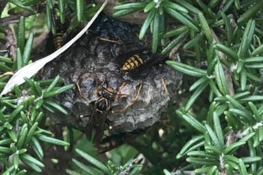 葉っぱの影に上手に隠れているセグロアシナガバチ