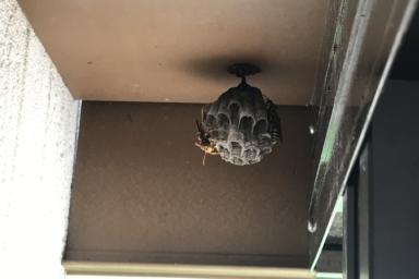 ウッドデッキの下のアシナガバチ