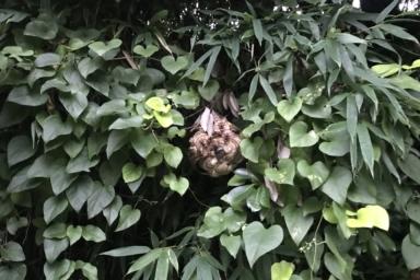 葉っぱに隠れるように巣を作るスズメバチ