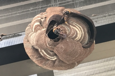 物干し屋根に巣を作るスズメバチ