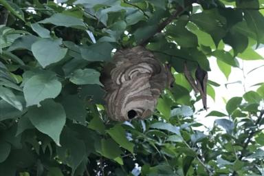 この時期にしてはありえないほど小さいスズメバチの巣